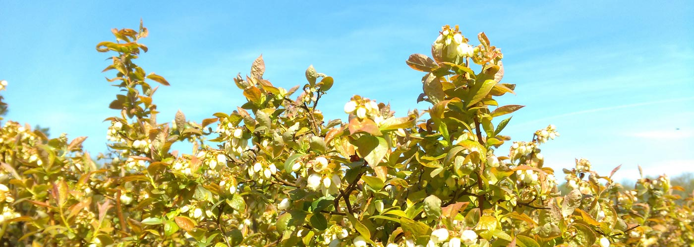 Mühlenhof Wittenwater - Heidelbeerpflanze - Slider
