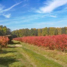 Mühlenhof Wittenwater - Herbstfärbung der Heidelbeerpflanzen