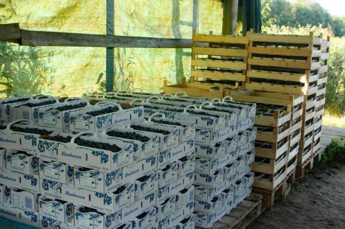 Mühlenhof Wittenwater - Blaubeeren
