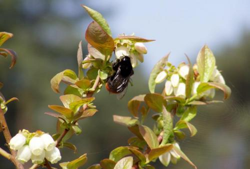 Mühlenhof Wittenwater - Blaubeeren - Altanlage - Biene