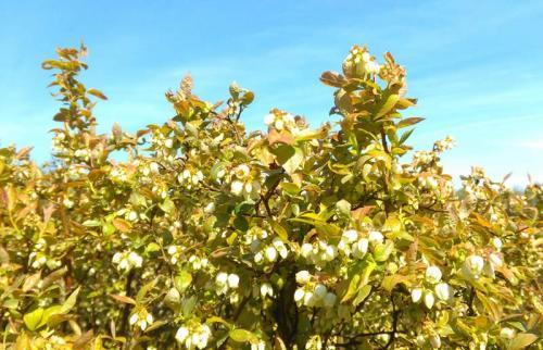 Mühlenhof Wittenwater - Blaubeeren - Altanlage - Blüten