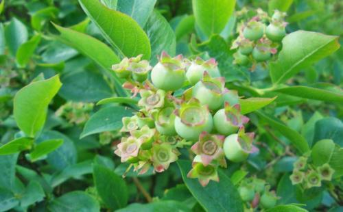 Mühlenhof Wittenwater - Blaubeeren - Altanlage - unreife Früchte