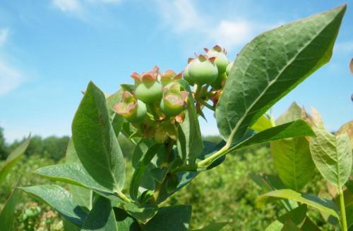 Mühlenhof Wittenwater - Blaubeeren - Altanlage - grüne Früchte