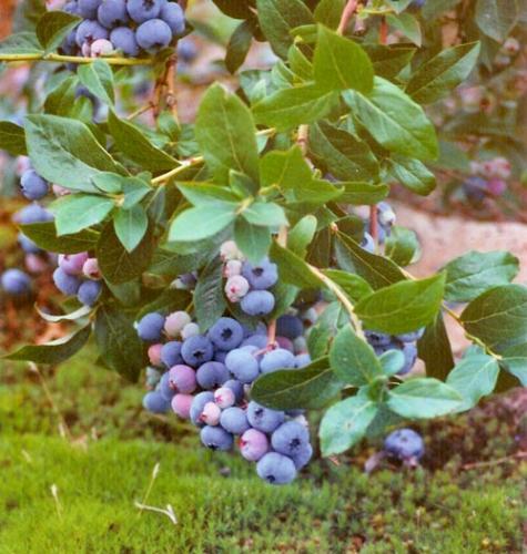 Mühlenhof Wittenwater - Blaubeeren - Altanlage - reife Heidelbeeren