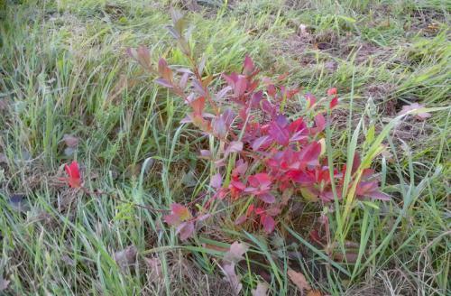 Mühlenhof Wittenwater - junge Heidelbeerpflanze